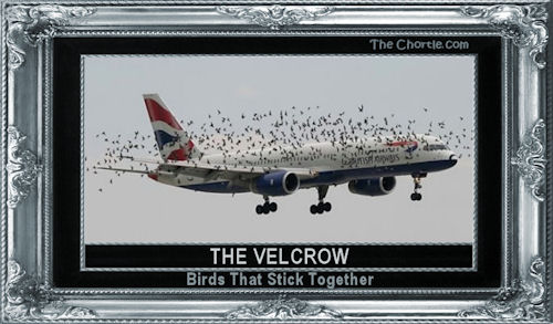 The velcrow - birds that stick together