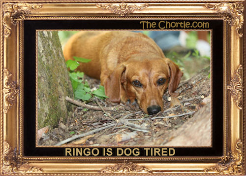 Ringo is dog tired