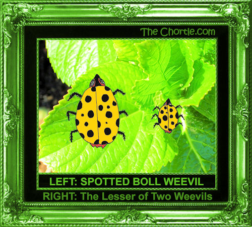 Left: Spotted boll weevil. RIGHT: The lesser of two weevils.